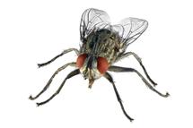 House Flies